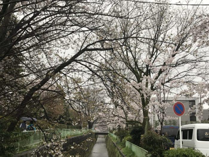 京都の穴場お花見スポット 北白川疎水沿いの桜並木