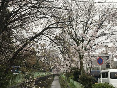 桜 花見 北白川 疎水