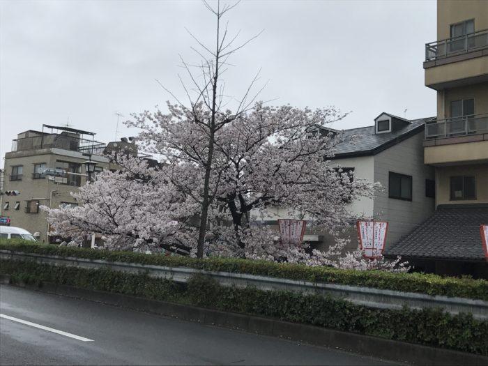 京都の穴場お花見スポット 宮川町川端界隈